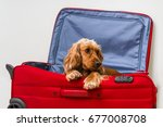 Cocker Spaniel Dog In Suitcase  ...
