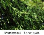 coniferous shrubs. selective...   Shutterstock . vector #677047606