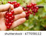 Collect Red Currant Fruit....