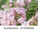 amazing cluster of pink phlox... | Shutterstock . vector #677058436