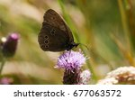 Meadow Brown Butterfly Perched...