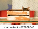 Small photo of Cat (Abyssinian) - Box - Indoor