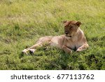 Lioness Resting On A Meadow ...