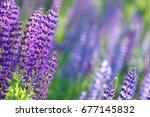 lupinus  lupin  lupine field... | Shutterstock . vector #677145832