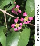 Small photo of Malpighia emarginata or Acerola or Barbados cherry or West Indian cherry or Wild crepe myrtle.