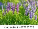 lupinus  lupin  lupine field... | Shutterstock . vector #677229592