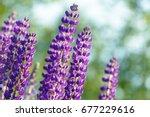 lupinus  lupin  lupine field... | Shutterstock . vector #677229616