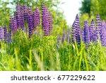 lupinus  lupin  lupine field... | Shutterstock . vector #677229622