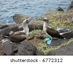 courting blue footed boobies in ... | Shutterstock . vector #6772312
