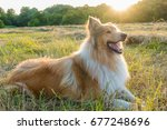 Collie Dog Lying Down On Green...