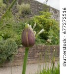 Small photo of Opening Flower Head of an Agapanthus in a Rural Garden Near Menai Bridge on the Isle of Anglesey, Wales, UK