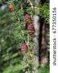 Small photo of Pine cones, is at the foot of the Belukha mountain, Altai Mountains, Russia