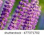 lupinus  lupin  lupine field... | Shutterstock . vector #677371702