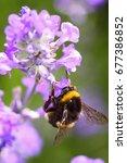 bumblebee pollinating lavender ... | Shutterstock . vector #677386852