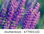 lupinus  lupin  lupine field... | Shutterstock . vector #677401132