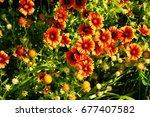 Firewheel Wildflowers Of The...