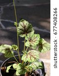 Small photo of Cultivar American alumroot (Heuchera americana 'Green Spice') in the summer garden