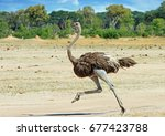 Ostrich Running Across The...