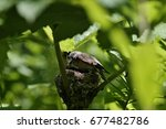 Small photo of American redstart -