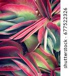 kalanchoe thysiflora | Shutterstock . vector #677522326