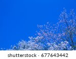 Small photo of Pink Tecoma with blue sky background