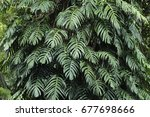 green leaves of monstera plant... | Shutterstock . vector #677698666