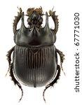 Typhaeus typhoeus  dung beetle  ...