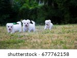 Stock photo white terrier puppies playing outdoor 677762158