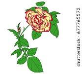 isolated light yellow lush rose ... | Shutterstock .eps vector #677765572