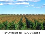a field of sorghum in west... | Shutterstock . vector #677793055
