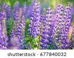 lupinus  lupin  lupine field... | Shutterstock . vector #677840032