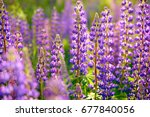 lupinus  lupin  lupine field... | Shutterstock . vector #677840056