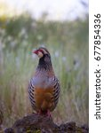Small photo of red-legged partridge, Alectoris rufa, standing tall on stone watching for danger