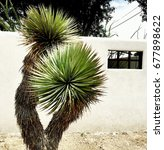Small photo of Yucca Tree Against White Adobe Wall in West Texas Desert Town