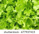 lettuce salad | Shutterstock . vector #677937415