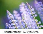lupinus  lupin  lupine field... | Shutterstock . vector #677950696