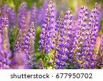 lupinus  lupin  lupine field... | Shutterstock . vector #677950702