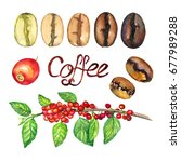 coffee branch with fruits and... | Shutterstock . vector #677989288