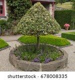Pyramid Shaped Holly Tree  Ilex ...