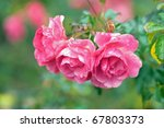 roses palmengarten free stock photo public domain pictures. Black Bedroom Furniture Sets. Home Design Ideas