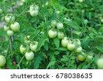 Green Grapevine Tomatoes. Green ...