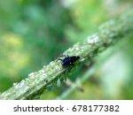 ladybird larva eating greenfly... | Shutterstock . vector #678177382