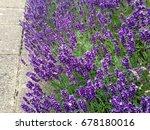 purple lavender flowers | Shutterstock . vector #678180016