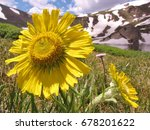 Small photo of Alpine Sunflower