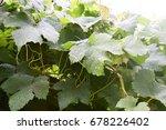 Beautiful Green Leaves Grape...