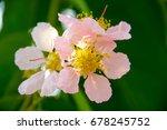 pride of india flower | Shutterstock . vector #678245752
