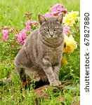 Beautiful Blue Tabby Kitty Cat...