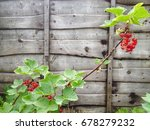 red currant plant growing | Shutterstock . vector #678279232