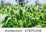 cornfield   maiz | Shutterstock . vector #678292348