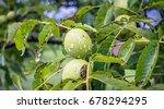 nut tree | Shutterstock . vector #678294295